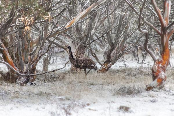 The emus out on the plains in an early snowfall - 103