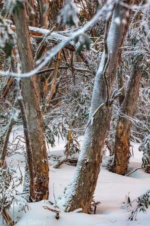 Snowgums, Snow, Sprinkles tree prints dinner plain mount buller - Karl Gray