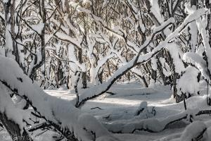 snow tree snowgums print dinner plain mount buller falls creek alpine - Karl Gray